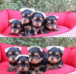 Yorkshire lindos bebês