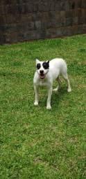 Vendo cadela pitbull,  muito dócil com 1ano e 8 meses.