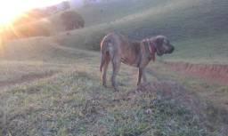 Filhote Bandog (Fila X Rottweiler/Pitbull)