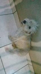 Cachorra poodle tem 1 aninho