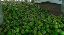 Fazenda produtiva de coco