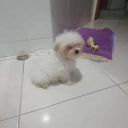 Cachorrinha maltês fêmea