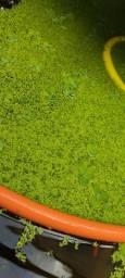 Lentilhas, plantas aquáticas