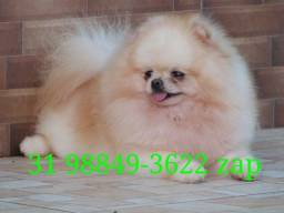 Canil Premium Filhotes Top Cães BH Spitz Alemão Maltês Poodle Lhasa Yorkshire Shihtzu