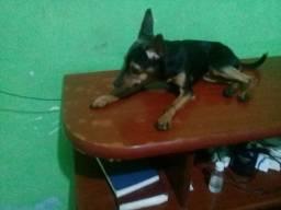 Cachorro pinscher no 01