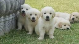 Golden Retriever somos criadores especializados a mais de 10 anos, com suporte veterinário
