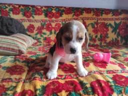 Casal de beagle disponível! Prontos para entrega.