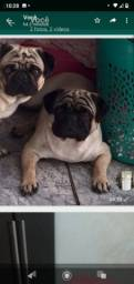 Vende-se um filhote de Pug com 30dias , valor 850,00