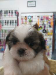 Filhote de shih-tzu macho a pronta entrega pet shop gold dog
