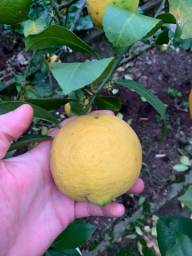 Limão Siciliano ?