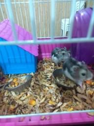 Estou doando hamster chinês