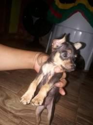 Vende-se cachorro pinscher
