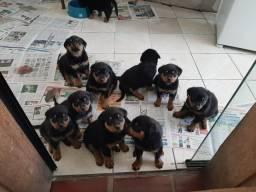Lindos filhotes de Rottweiler pronta entrega
