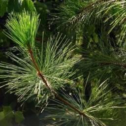 Sementes mudas de Pinheiro pinos