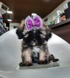 Lhasa fêmea é no Da Madre Pet Shop