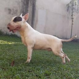 Bull Terrier top com pedigree CBKC