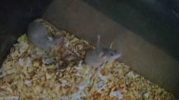 Vendo 4 ratinhas fêmeas