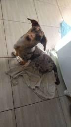 Vendo Basset dachshund arlequim