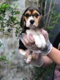 Beagle de 45 a 60 dias de vida