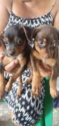 cachorro pinscher número 2 Por apenas 250$ CADA.
