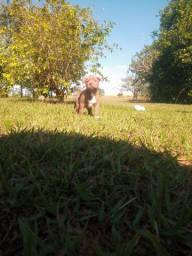 Filhote fêmea Américan Pitbull Terrier