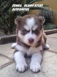 Husky siberiano : Filhotes genetica de campeoes Canil