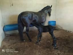 Égua mangalarga preta registrada