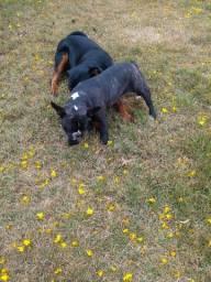 Bulldog francês procura namorado