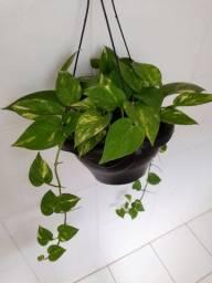 Título do anúncio: Planta Jiboia