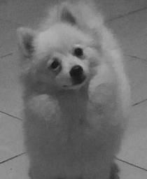 Lulu branco macho