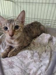 Título do anúncio: Doação de gata dócil castrada