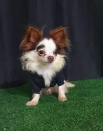 Chihuahua macho pelo longo para Cobertura
