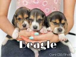 Beagle com pedigree e microchip em até 18x no