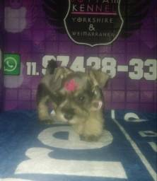 Maravilhosos filhotes de schnauzer miniatura