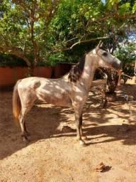 Cavalo mangalarga machador registrado no mm