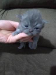 Gatos persas filhotes para reserva