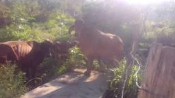 2 vacas e 1 bezerra girolando