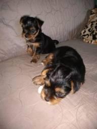 Vendo filhote de yorkshire terrier