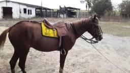 Cavalo mestiço quarto de milho
