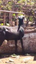 Vendo carneiros da raça santa Inês macho é fêmea