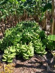 Mudas de banana terra