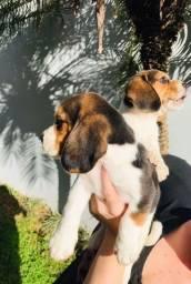 Título do anúncio: beagles tricolor