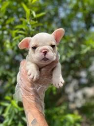 Filhotes de Bulldog Francês. Visite nossa Loja!