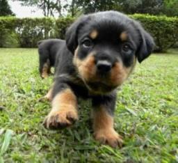 Rottweiler macho e fêmea padrão excelente com garantia de saúde