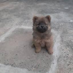 Cachorro Chow-chow