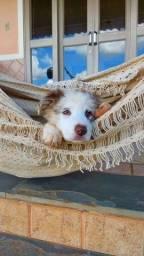 Título do anúncio: Lindos  filhotes de  Border Collie com pedigree