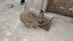 Vendo coelhos de raça pequena
