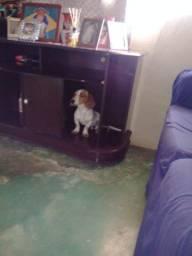 Vende _se cachorrinho mancho Basset 9 mês *