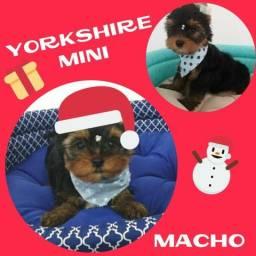 Filhotes de Yorkshire Mini Machos - Microchipados / Garantia / Parcelado