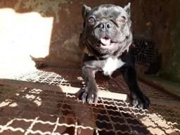Bulldog Francês Fêmea 1 ano